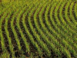 riso-campi-autunno-file-estero-byflickrcc20-tanakawho-250