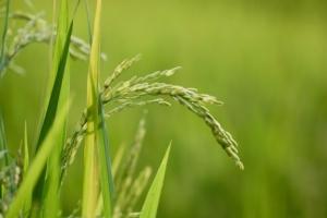 riso-pianta-by-zephyr-p-fotolia-750