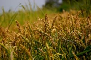 riso-risaia-campo-vercelli-by-marcoiannucci-adobe-stock-750x500