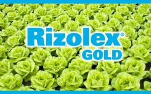 Rizolex Gold: sicurezza prolungata sulle insalate per il controllo della Rhizoctonia
