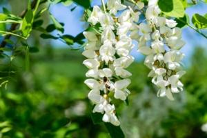 Robinia per biomassa, bioraffineria e biodiversità agricola - Plantgest news sulle varietà di piante