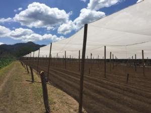 Gran caldo e solanacee: Arrigoni propone Prisma<sup>®</sup> e Robuxta<sup>®</sup> - Plantgest news sulle varietà di piante