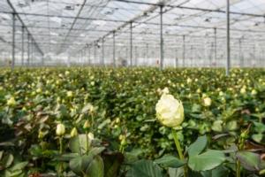 Colture floricole, come migliorarne i parametri - Green Has Italia - Fertilgest News