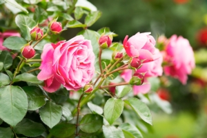 rose-fiori-vivaismo-by-digitalpress-fotolia-750.jpeg