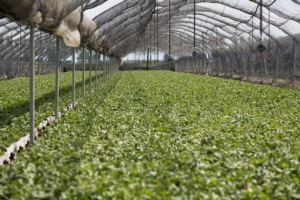 Fragole: oggi e domani - Plantgest news sulle varietà di piante