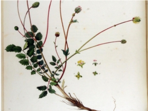 Erbe spontanee nutraceutiche, da Pisa l'idea di coltivarle - Plantgest news sulle varietà di piante