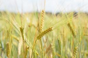 Cover crop, con Co-Crop in valutazione le dinamiche nutritive - Plantgest news sulle varietà di piante