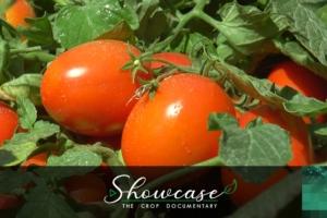 Pomodoro industria, il ritorno dell'oro rosso - Plantgest news sulle varietà di piante