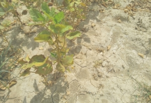 siccita-soia-carenza-idrica-by-matteo-giusti-agronotizie