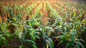 sorgo-by-jaboofoto-adobe-stock-750x422