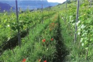 sovescio-laimburg-viticoltura-750