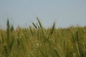 Galileo Star: nuovo riferimento nella difesa fungicida dei cereali