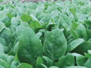 El Giga, il nuovo spinacio invernale di Syngenta - Plantgest news sulle varietà di piante