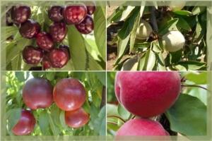 Frutticoltura nel Sud Italia, cosa serve per rinnovare? - Plantgest news sulle varietà di piante