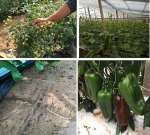 sprint-veg-rapido-vegetale-fonte-lea-agricoltura