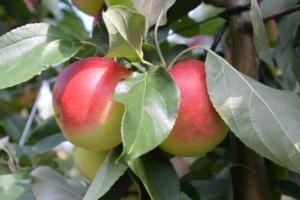 SweeTango®, la prima mela dell'estate - Plantgest news sulle varietà di piante