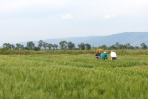 syngenta-in-campo-bigevent-cereal-plus-2014-5525-frumento-grano-by-agronotiziecs750