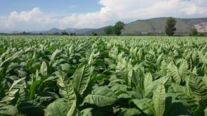 tabacco-burley-in-campo-03-dic-2020-confagricoltura-campania