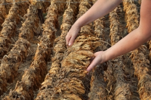 tabacco-essicazione-foglie-by-sima-adobe-stock-750x500