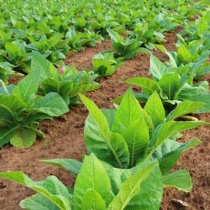 tabacco-piante-coltivazione-by-laurent-renault-fotolia-750