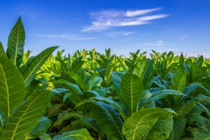 tabacco-piante-foglie-by-zbg2-adobe-stock-750x500