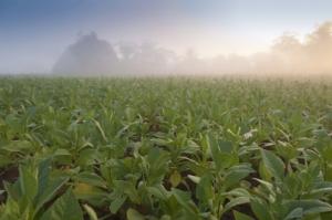 tabacco-piante-maros-markovic-fotolia-750x498