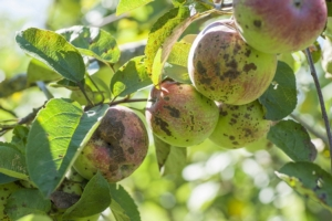 Ticchiolatura, suggerimenti per la difesa - Plantgest news sulle varietà di piante