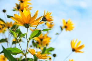 topinambur-fiori-by-mny-jhee-adobe-stock-750x498