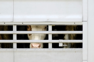 trasporto-animali-bovini-mucche-by-richard-schramm-fotolia-750x500
