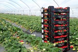 Fragole Candonga, prezzi all'insegna della stabilità - Plantgest news sulle varietà di piante