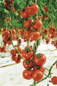 tylcram-pomodoro-grappolo-fonte-syngenta