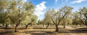ulivi-olivi-olivicoltura-puglia-by-siegfried-schnepf-adobe-stock-750x310
