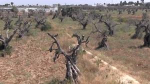 ulivi-olivo-eradicazione-xylella-fonte-alessio-pisano