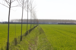 un-sistema-silvoarabile-con-filari-di-pioppo-ibrido-e-farnia-piantati-lungo-le-scoline-aziendali-feb-2020-fonte-foto-veneto-agricoltura