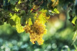 Vite da vino, il controllo cocciniglie è targato Biogard