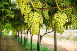 uva-bianca-ta-da-tavola-grappoli-maturi-by-volff-adobe-stock-749x500