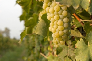 Veneto, settore vitivinicolo in continua crescita - Plantgest news sulle varietà di piante