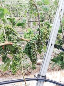 uva-colpita-dalla-grandine-05-lug-2020-coldiretti-puglia
