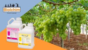 Regola, sincronizza, incrementa: l'uva da tavola - Fertilgest News