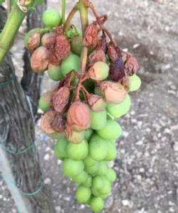 uva-cotta-da-sole-26giu-2021-coldiretti-puglia