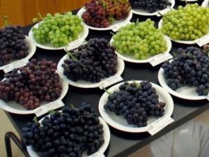 Uva da tavola, innovazione varietale e certificazioni al centro della scena - Plantgest news sulle varietà di piante