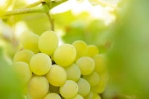 Uva da tavola, le soluzioni di Green Has Italia per una produzione di qualità - colture - Fertilgest