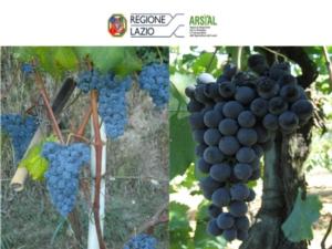 Lazio, due vitigni autoctoni nel Registro nazionale delle varietà di vite - Plantgest news sulle varietà di piante
