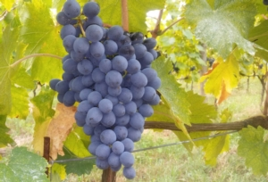 uva-grappolo-vite-sangiovese-by-matteo-giusti-agronotizie-jpg