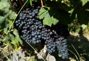uva-nera-vite-by-matteo-giusti-agronotizie-jpg
