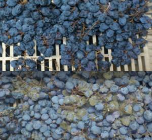 uva-passita-de-nora