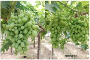 Excelero<sup>®</sup>: nuove opportunità anche per il dirado dell'uva da tavola