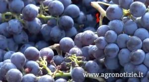 uva-vendemmia-2015-casato-prime-donne-siena-fonte-barbara-righini-agronotizie1