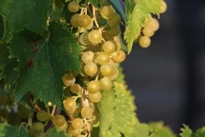 Per la vite un futuro sostenibile - Plantgest news sulle varietà di piante
