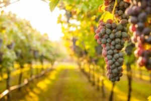 Stress idrici e termici nella viticoltura da vino, le soluzioni Green Has Italia - colture - Fertilgest